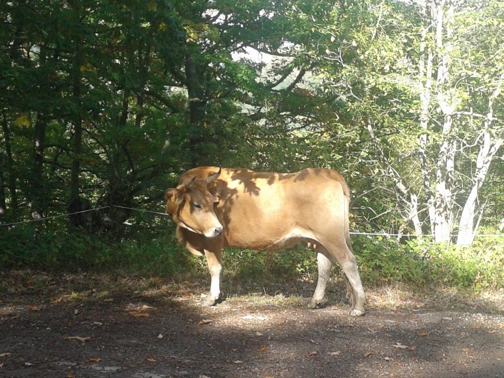 vaca-en-el-camino