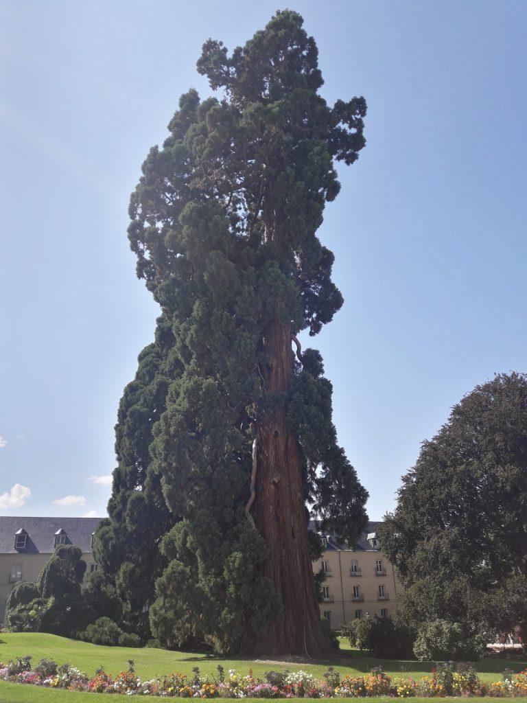 arbol-granja-san-ildefonso